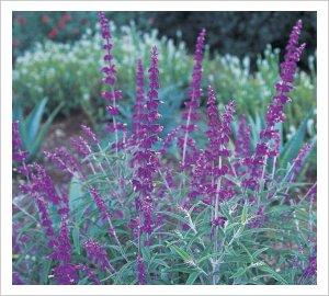 Salvia 'Santa Barbara'