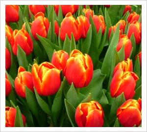 Tulipa Verandi Lambley Nursery