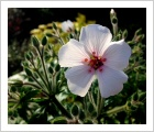 Geranium maderense 'Guernsey White'