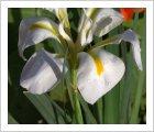 Iris unguicularis 'Alba'