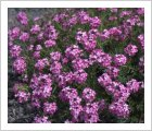 Aethionema 'Warley Rose'