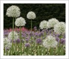 Allium 'Mt Everest'