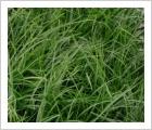 Carex oshimensis 'Evergreen'