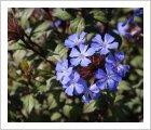 Ceratostigma wilmottiana 'Forest Blue'