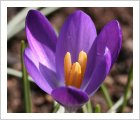 Crocus tommasinianus 'Whitewell Purple'
