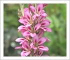 Francoa sonchifolia Pink Giant