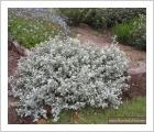 helichrysum petiolare licorice plant