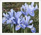 Iris reticulata 'Alida'