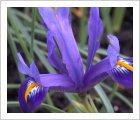 Iris reticulata 'Edward'