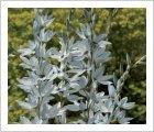 Ixia viridiflora var. amethystina