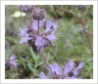 Salvia leucophylla 'Bees Bliss'