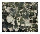 Tanacetum densum ssp. amani