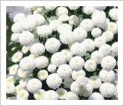 Tanacetum parthenium Snowball