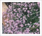 Tunica saxifraga Tunic Flower